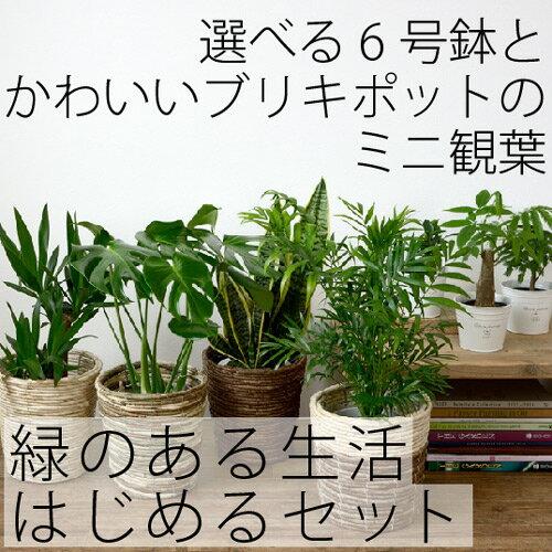 観葉植物 選べる6号鉢とブリキポットのミニ観葉 セット モンステラ/パキラ インテリア 開店祝い 新...