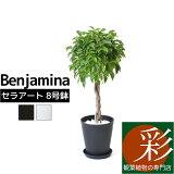 観葉植物 ベンジャミン ベンジャミナ セラアート鉢 8号鉢 大型 インテリア 開店祝い お祝い 新築祝い フィカス属 ブラック ホワイト セラート鉢