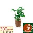 ◆限定クーポン配布中◆選べる 6号鉢 観葉植物 鉢カバー付き ヒメ モンステラ サンスベリア クルシ ...