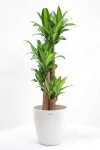 幸せになりますように、ドラセナ・マッサンゲアナ(幸福の木)8号鉢【観葉植物】初心者でも人気のグリーン 【インテリア】 大型 インテリア 開店祝い