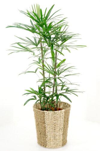 観葉植物 シュロチク 棕櫚竹 8号鉢 観葉植物 父の日