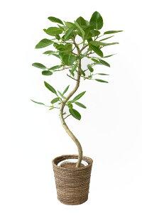 観葉植物 フィカス・アルテシーマ8号鉢 引越し祝い 開店祝い 新築祝い 大型 観葉植物 アルテシマ フィカス属