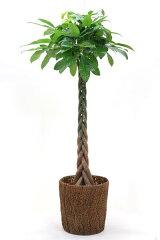 観葉植物 パキラ 10号鉢 お祝い 大型 インテリア