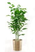 観葉植物 高性 チャメドレア 10号鉢 大型 インテリア 観葉植物 敬老の日