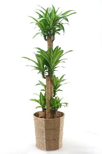 幸福の木 観葉植物 幸福の木 10号鉢 お祝い 大型 インテリア 観葉植物 父の日