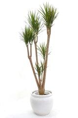 【お取り寄せ】シャープな印象のドラセナ・マルギナータ(コンシンネ)10号鉢(大鉢)【観葉植物】…