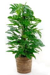 観葉植物 マングーカズラ 10号鉢 大型 開店祝い 新築祝い お祝い