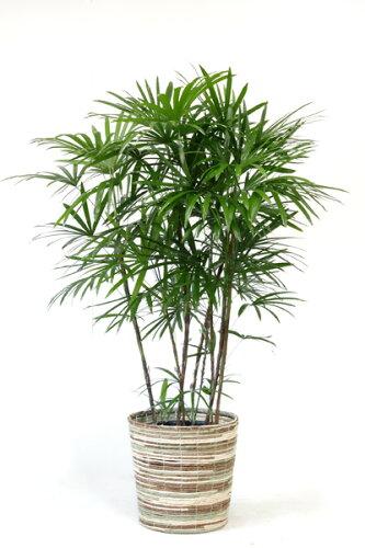 シュロチク 棕櫚竹 10号鉢 観葉植物 大型 インテリア 観葉植物 父の日