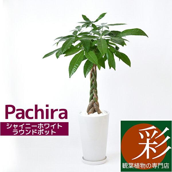 パキラ 観葉植物 シャイニーホワイト ラウンドポット 白陶器入り インテリア 大型 開店祝い アジアン おしゃれ