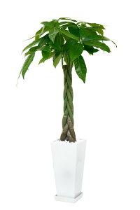 送料無料 パキラ 観葉植物 スクエア 白陶器入り インテリア 大型 新築祝い 開店祝い アジア…