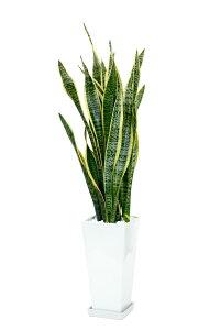 サンスベリア スクエア白陶器 観葉植物 インテリア 引越し祝い お祝い 大型 サンスベリア