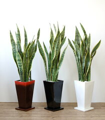 観葉植物 サンスベリア 選べる3色 スクエア陶器 サンセベリア インテリア アジアン おしゃれ…