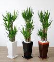 観葉植物 ユッカ・エレファンティペス 選べる3色 スクエア陶器 インテリア アジアン おしゃれ 引越し祝い 開店祝い 新築祝い お祝い 観葉植物 大型 父の日