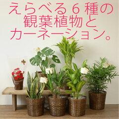 母の日用真っ赤なミニカーネーション鉢植えと観葉植物のセットです【スタイリッシュ】☆送料無...