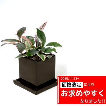 サクラランと呼ばれています♪ひょこっと出てくるピンクの葉っぱがかわいい。ホヤ・カルノーサ・バリエガタ(フイリサクララン)【ミニ観葉植物】【陶器】【アジアン】ハートホヤ 観葉植物
