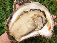 【超特大】岩牡蠣「800gサイズ3個セット」