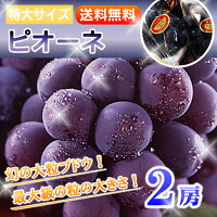 ブドウの大様:ピオーネ!大粒&種無し!特大2房!!【クール便で送料無料!】2房入り約1kg前後はじける夏をお届けします!ぶどう:葡萄