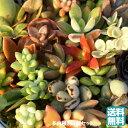 多肉植物(5個入)送料込【多肉苗セット販売】寄せ植え(多肉 植物 セット販売)地元生産者から直接仕入れ発送商品 販売の写真
