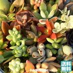 多肉植物(5個入)セット 送料込【多肉苗セット販売】寄せ植え(多肉 植物 セット販売)地元生産者から直接仕入れ発送商品 販売 お得セット ミニ観葉植物 かわいい植物 可愛い観葉植物 寄せ植えに ミニ おしゃれ 苗 観葉植物 卓上 小さい 植物 室内に緑を