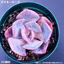 多肉植物【ダスキーローズ】エケベリア属【インテリア ミニグリーン観葉 】(多肉 植物 販売)多肉植物 多肉 インテリアグリーン 寄せ植えに 観葉植物