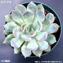 多肉植物【エイプス】エケベリア Echeveria cv 'APUS【インテリア ミニグリーン観葉 】(多肉 植物 販売)多肉植物 観葉植物 インテリアグリーン 観葉植