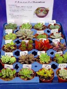 多肉植物(6個入) 感想・画像・安心して購入するためのレビュー60件