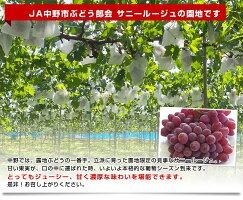 長野県より産地直送JA中野市サニールージュ2から4房1.2キロ※クール便