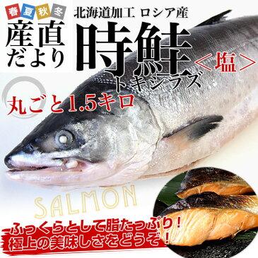 送料無料 北海道加工 時鮭(トキシラズ)(塩鮭) まるごと1本 約1.5キロ ロシア産