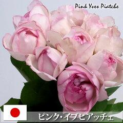 華やかな香りの淡いピンクのバラ薄いピンクのバラ ピンクイブピアッチェ 40cm×1本 ※20本以上...