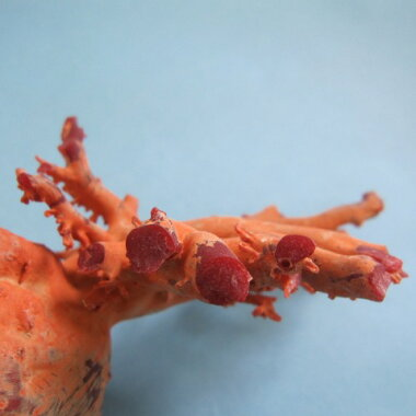 土佐沖産赤珊瑚の原木
