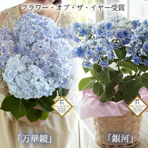母の日ギフト島根県産あじさい鉢植え選べる2品種(「万華鏡」「銀河」)送料無料