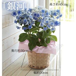 母の日ギフト島根県産高鮮度のあじさい鉢植え選べる2品種(「万華鏡」「銀河」)送料無料