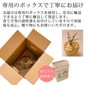 桜盆栽(旭山桜)瀬戸焼鉢入り送料無料