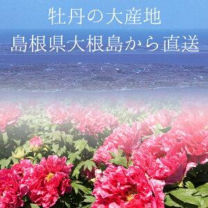 お正月用牡丹大産地・島根県大根島直送寒咲牡丹(桃色)八千代椿送料無料