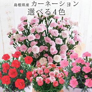 母の日ギフト島根県産カーネーション鉢植え選べる4色送料無料