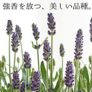 母の日ギフト島根県産ラベンダー「アロマティコ」鉢植え送料無料