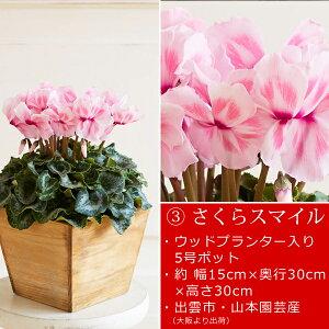 島根県産シクラメン鉢植え選べる3品種お歳暮ギフト送料無料