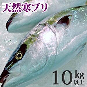 天然ブリ(寒鰤/寒ブリ)10kg...