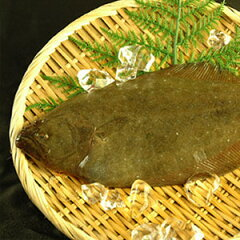 シコシコとした美味!山陰沖産の高級魚!山陰沖産 天然ヒラメ(平目)約500g
