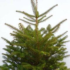 もみの木(ウラジロモミ) 樹高 0.8~1.0m 根巻き苗