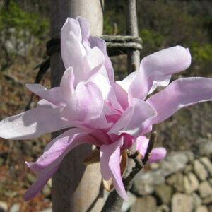 ヒメコブシ ピンク (シデコブシ) 根巻き苗