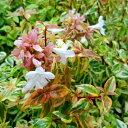 季節ごとに変化する美しい斑入り葉アベリア カレードスコープ