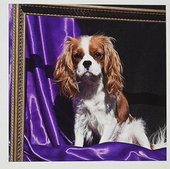 【Danita Delimont 犬 A Cavalier King Charles Spaniel Dog us05 zmu0132 Zandria Muench Beraldo グリーティングカード Set of 12 Greeting Cards】 b00ae1zsfc[WORLD倉庫 楽天市場店]