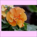 よく咲くスミレカシス13苗