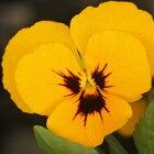 よく咲くスミレマロン3苗