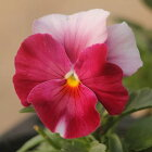 よく咲くスミレロゼ3苗