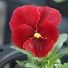 よく咲くスミレクランベリー3苗