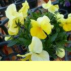 よく咲くスミレレモネード3苗