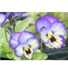 よく咲くスミレソーダ3苗