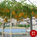 巨木トマト栽培用架台水耕栽培で本格的に栽培したい方